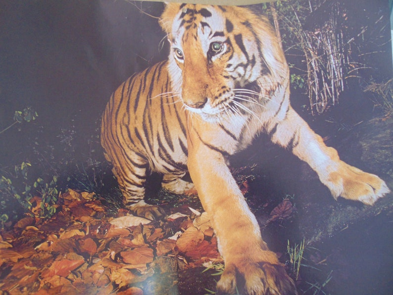 BEAUTIFUL Single Calendar Picture TIGER for Framing,Scrapbooking,Jewelry Making,Man Cave,She Shed,Home Decor