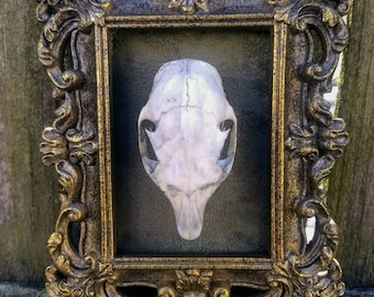 Complete Real Tree Squirrel Skull with Jaws on Velvet in Frame