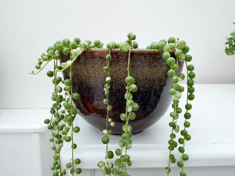 "String of Pearls Senecio Rowleyanus Succulent 4 cuttings each 4/""-6/"" long"