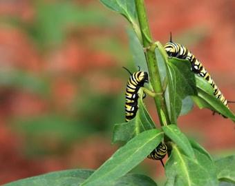 Pair of Monarch Caterpillars Photo