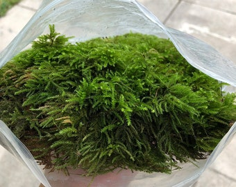 Live Moss For Terrariums • Living Moss For Houseplants • Real Moss For Bonsai • Fairy Garden Moss • Terrarium Moss • Natural Green Moss