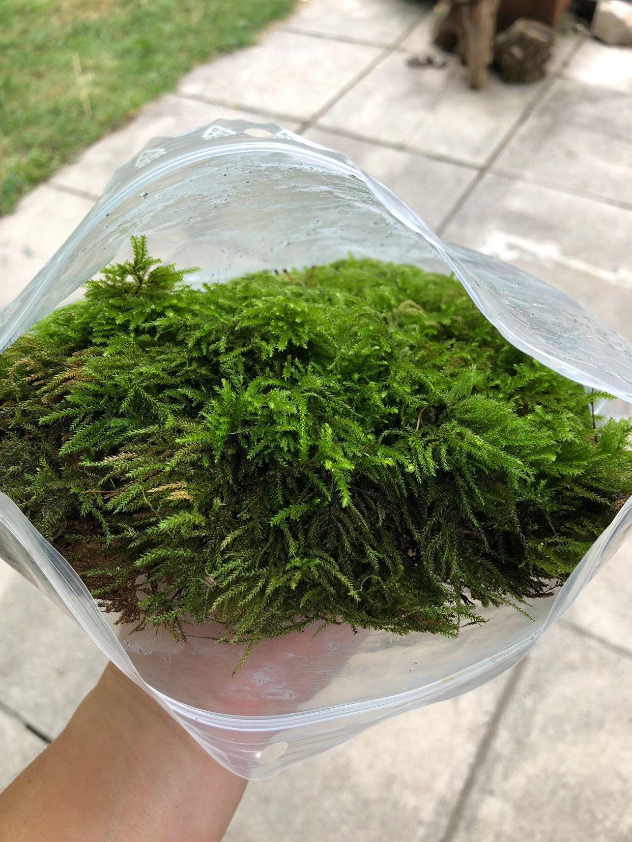 Lichen and Woodland Plants Fairy Gardens Terrarium Live Assortment Lot of Moss