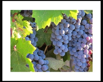 Cabernet Wine Grapes Still on the Vine, Prints and Personalized Cards
