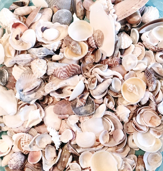 1 LB Or 2 LB Bulk Craft Shells Seashells Florida / Beach