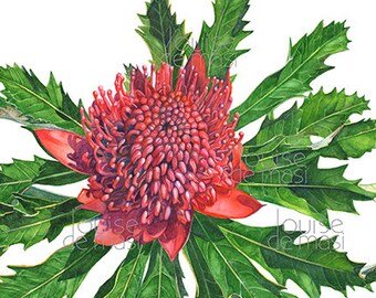 Waratah watercolour painting print, Print of Waratah painting, Australian Flower print, 5 by 7 size W24017, Australian Waratah print
