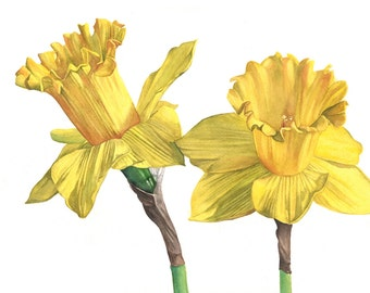 Daffodil print of watercolour painting A4 size medium print D4815, flower art, botanical painting