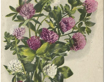 Purple and White Clover Artist signed Fred C. Lounsbury 1907 Vintage Postcard