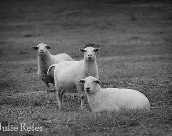 Sheep photography, sheep pictures, black and white farm animal photo