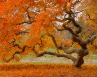 Japanese Maple Tree in Autumn, Landscape Photograph, Fall Foliage, Nature, Tree of Life, Orange, Art Print, Zen, Woodland, Old Tree, 6X9