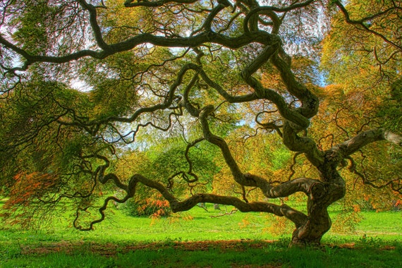 Japanese Maple Tree In Spring Landscape Photograph Green Etsy
