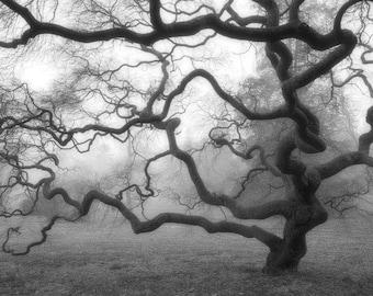 Winter Tree in Fog, Black and White Photograph, Nature, Mist, Landscape, Threadleaf Japanese Maple Tree, Fine Art photograph, Zen, Decor