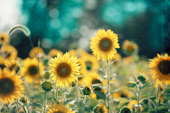 Sunflower Photography