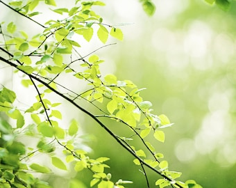 """Nature Photography - green leaves photo tree branches wall art print branch botanical modern white - 8x10 Photograph, """"A Prayer in Spring"""""""