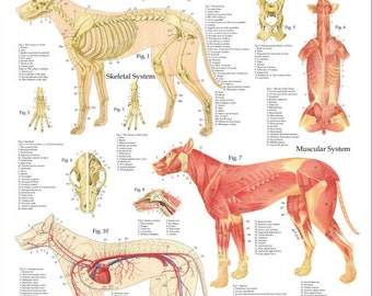 "Dog Anatomy Poster - 24"" X 36"""
