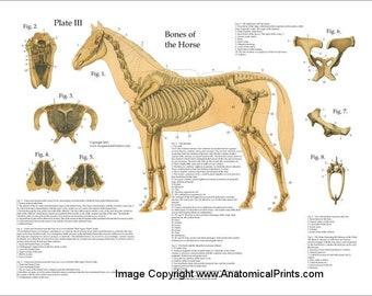 Horse anatomy | Etsy