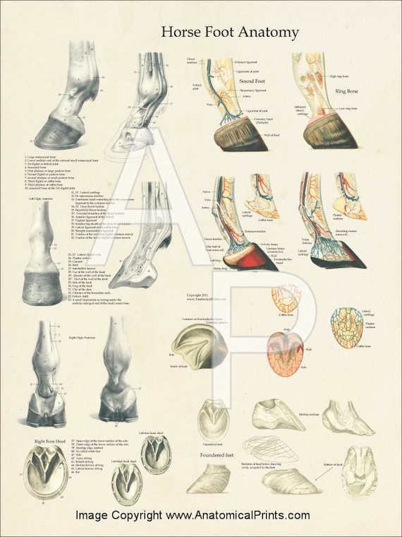 Horse Foot Hoof Veterinary Anatomy Poster 18 X | Etsy