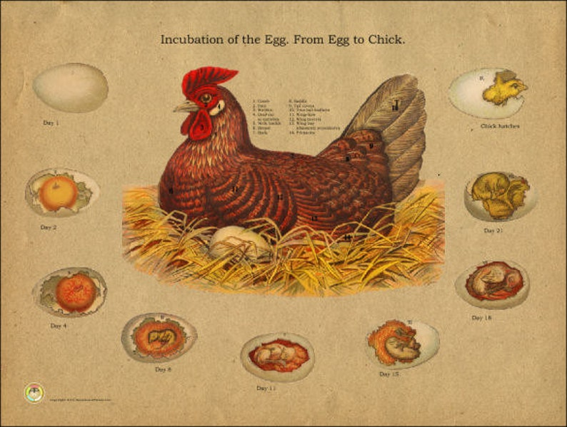 Chicken Egg Incubation Anatomy Poster 18 X 24 Etsy