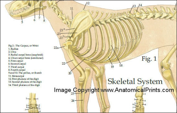 Hund Anatomie Poster 24 X 36   Etsy