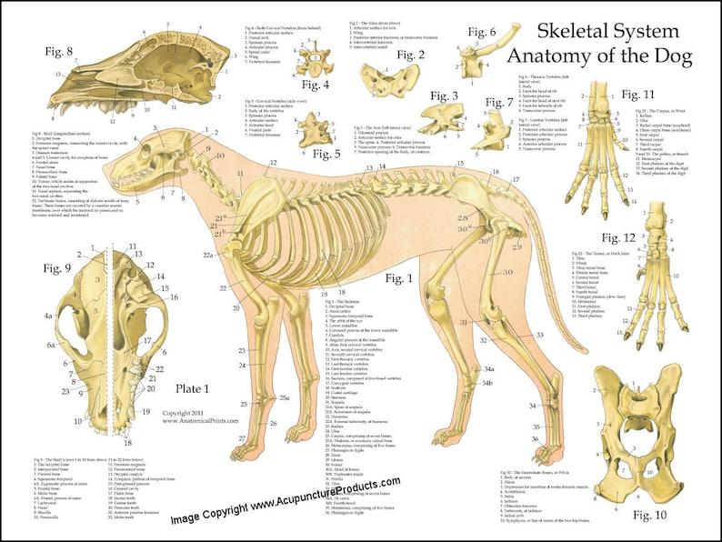 Dog Skeletal Skull Anatomy Poster 18 X 24 Etsy