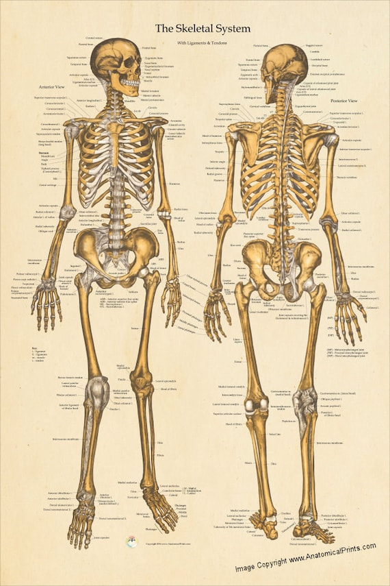 Human Skeletal Anatomy Poster Anterior And Posterior Views Etsy