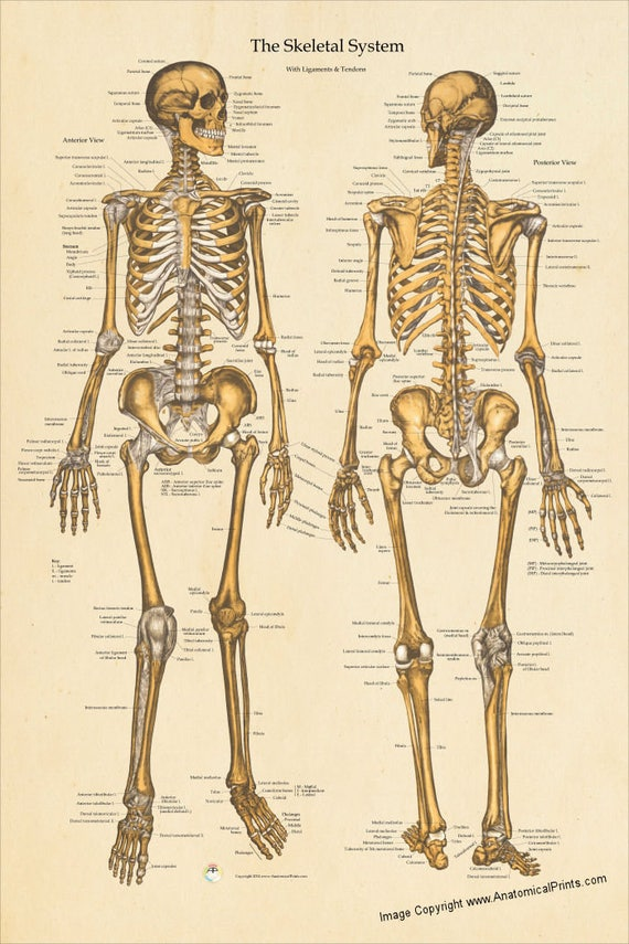 Menschliche Skelett Anatomie Poster vorderen und hinteren | Etsy
