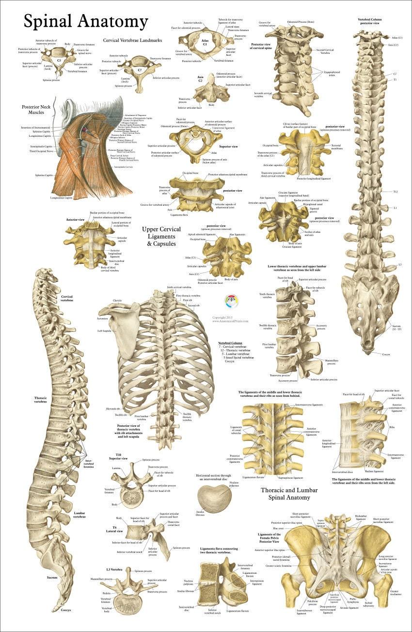 Menschliche Wirbelsäule Anatomie Chiropraktik Poster 24 | Etsy