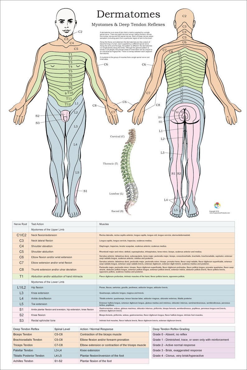 Dermatomes Myotomes And Dtr Poster 24 X 36 Chiropractic