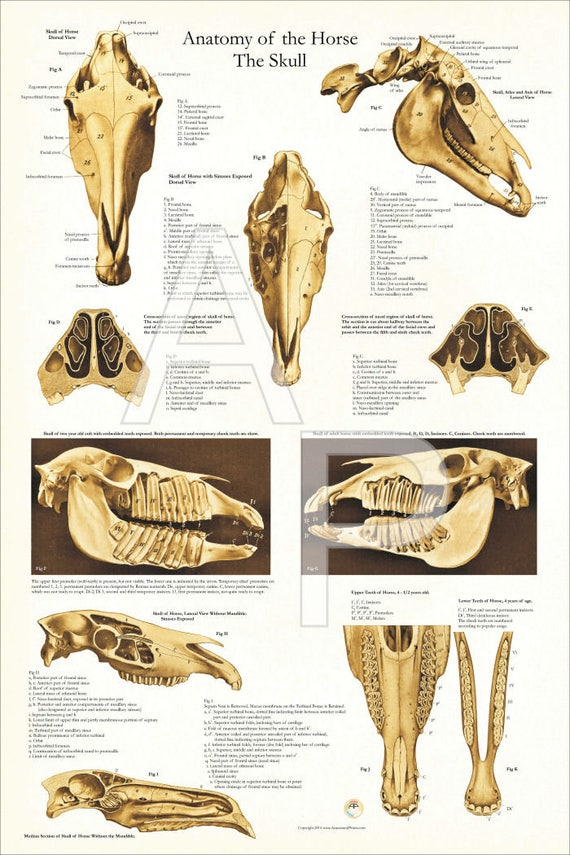 Horse Skull Skeletal Anatomy Poster 24 X 36 | Etsy