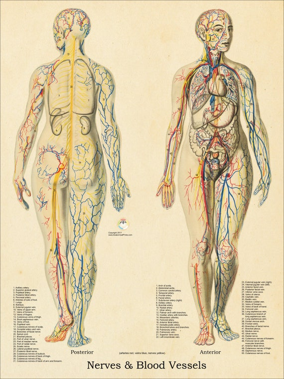 Nerves And Blood Vessels Human Female Anatomy Poster 18 Etsy