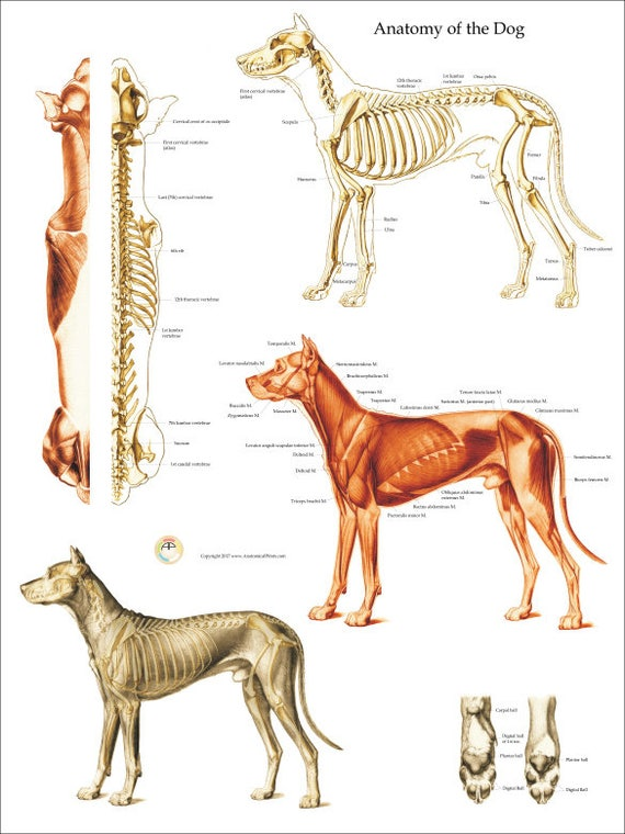 Dog Muscle Skeletal Anatomy Poster Wall Chart 18 X Etsy