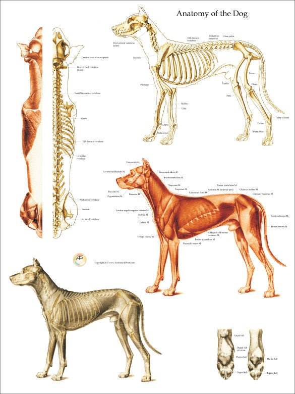Hund Muskel Skelett Anatomie Poster Wall Chart 18 X | Etsy