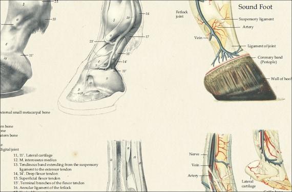 Pferd Fuß HUF tierärztliche Anatomie Poster 18 X | Etsy