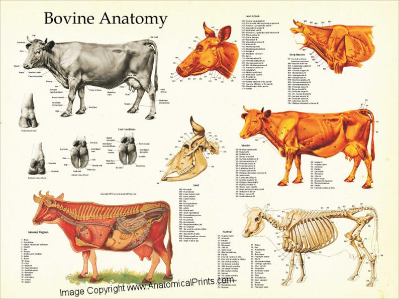 Cow Anatomy Poster Wall Chart 18 X 24 Etsy