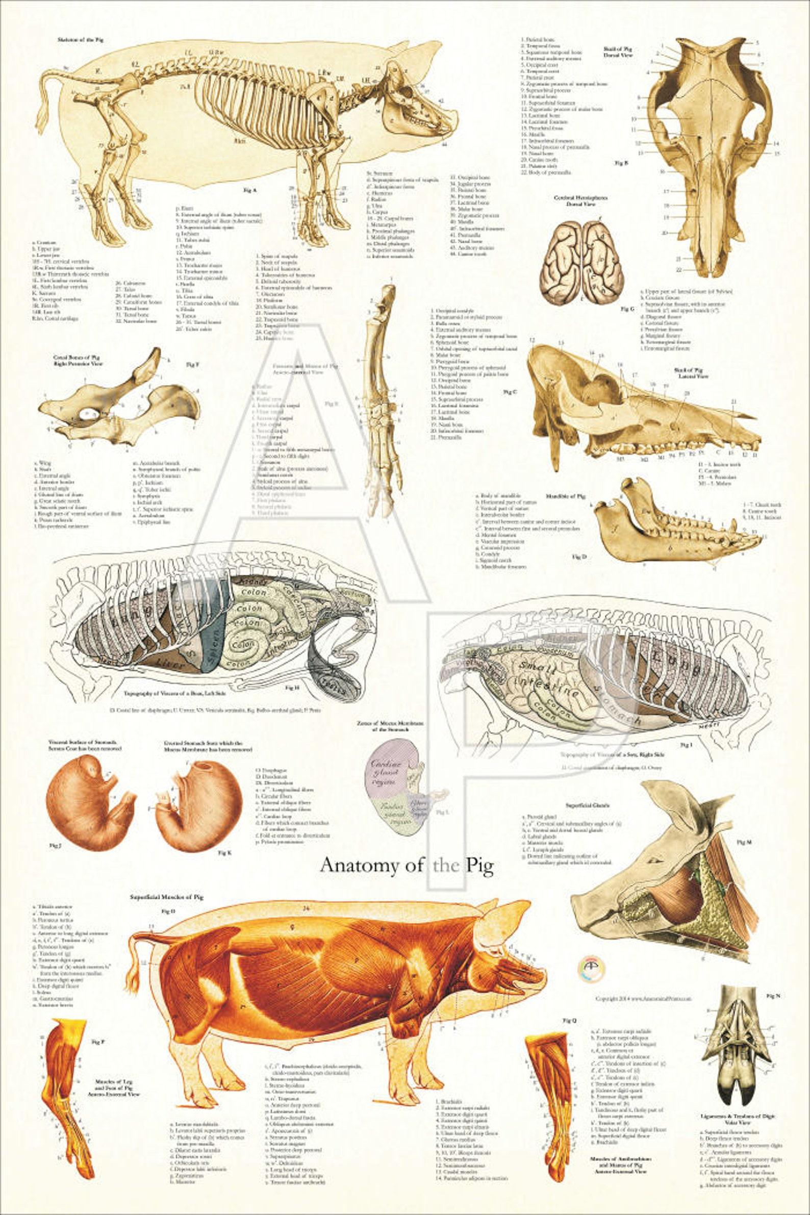 анатомический атлас животных в картинках всех оригинальными интересными