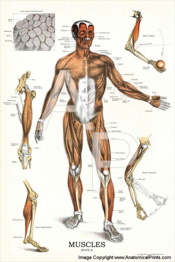 Menschlichen Muskel Anatomie Poster 24 X 36 | Etsy