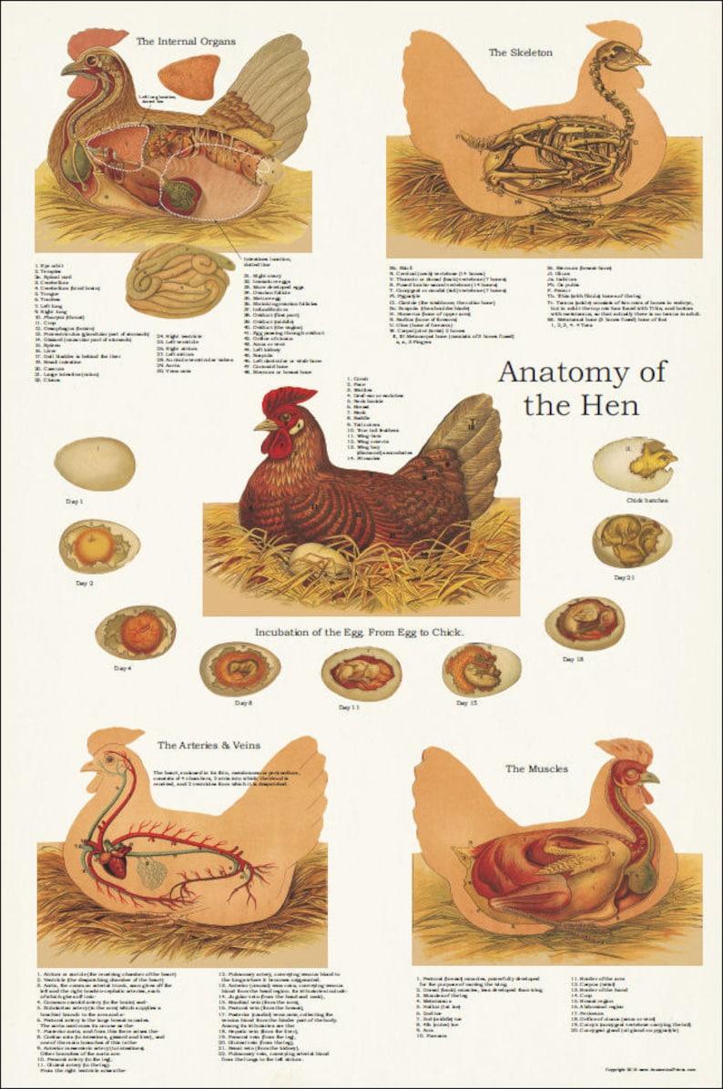 Anatomie Poule poulet poule muscle anatomie squelettique affiche 24 x | etsy