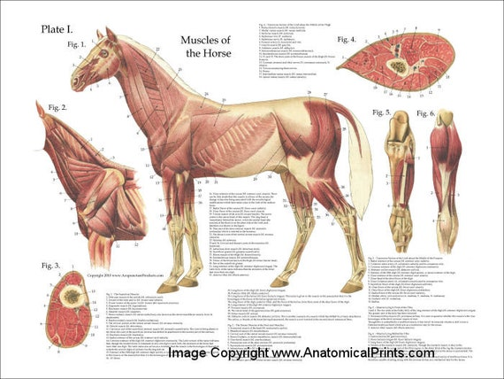 Horse Muscle Anatomy Poster Wall Chart 18 X 24 | Etsy