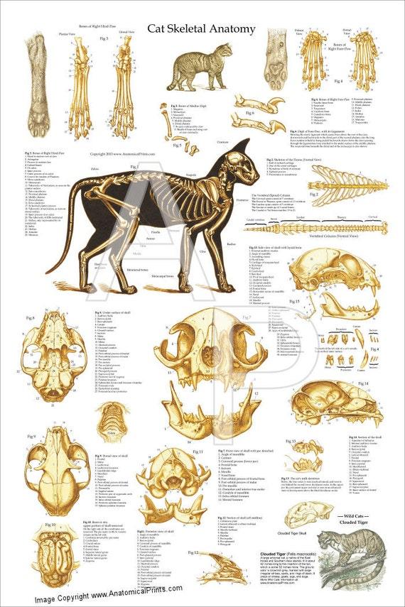 Katze Skelett Anatomie Poster Wall Chart 24 X 36