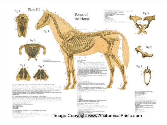 Pferd Skelett Anatomie Poster Wall Chart 18 X 24   Etsy