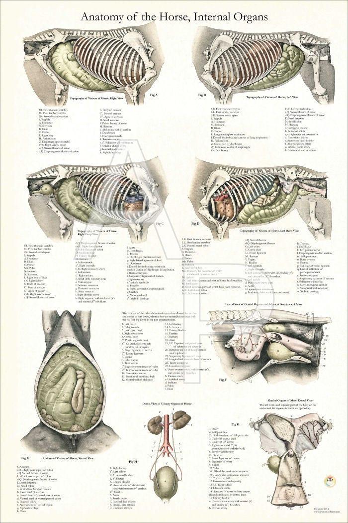 Pferd-interne tierärztliche Anatomie-Poster 24 X