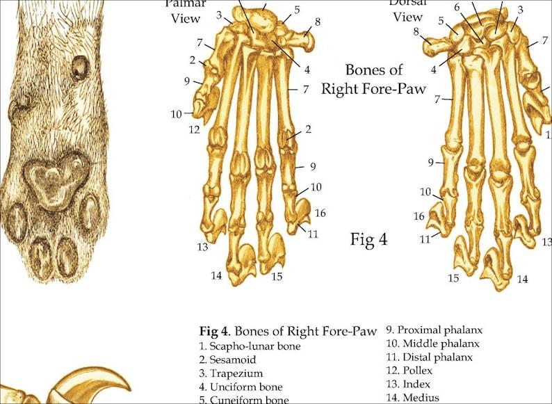 Domestic Cat Skeletal Skull Anatomy Poster 24 X 36 Etsy