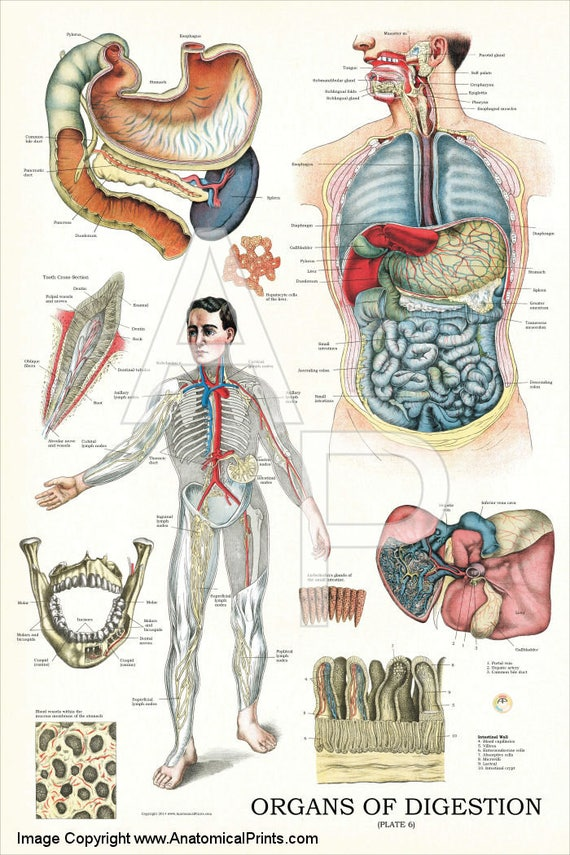Human Internal Organs Of Digestion Anatomy Poster 24 X Etsy