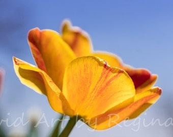 Spring Tulip Photo Print | Fine Art Photography | Flower Photography | Wall Art