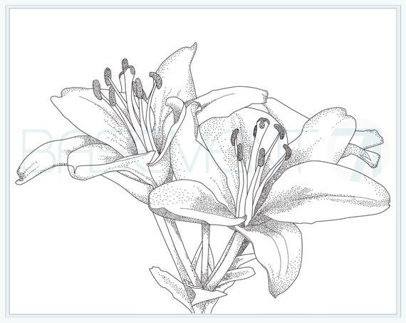 Lily Coloring Page Printable Flower Adult Colouring Page Of Etsy