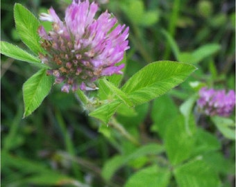 Ethically Wild-Harvested Red Clover Blossoms