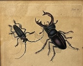 Hand coloured print of Insects c.1804