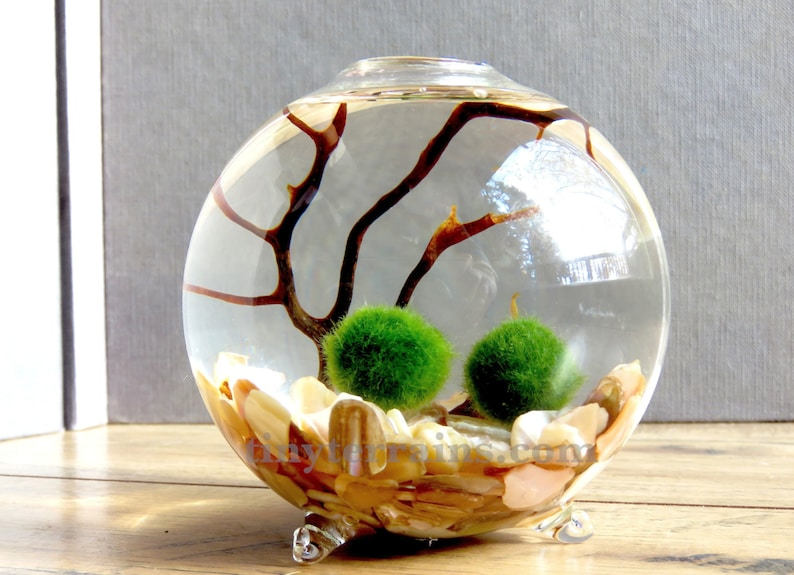 Single Glass Globe Marimo Moss Ball Terrarium Kit Etsy