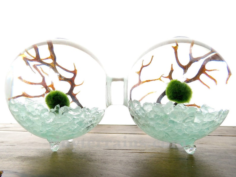 2 Attached Glass Globes Marimo Moss Ball Terrarium Kit Etsy
