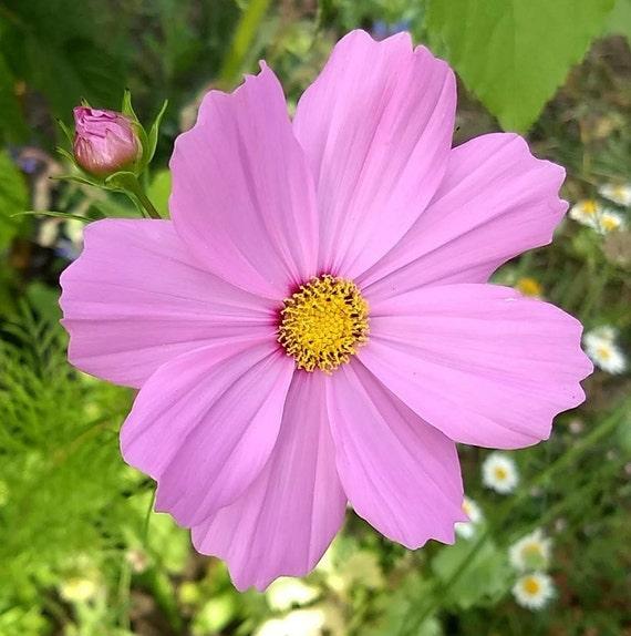 Cosmos Flower Seeds Pink Flowers Organic Flowers Farm Fresh Etsy