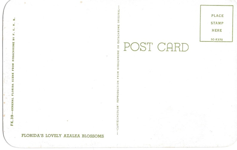 Florida/'s Lovely Azalea Blossoms Vintage Postcard